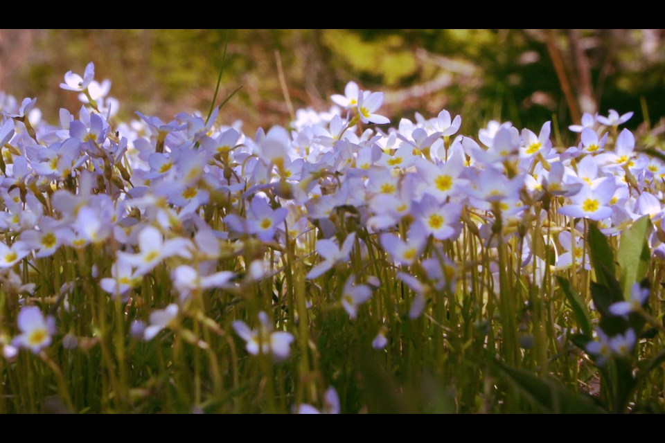 Dancing bluets decorate a woods trail during a spring visit to  Point Pleasant Park.  (JOHN McPHEE / Local Xpress)