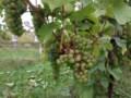 MOIRA'S GLASS ACT: Castaway grape needs more shelf space