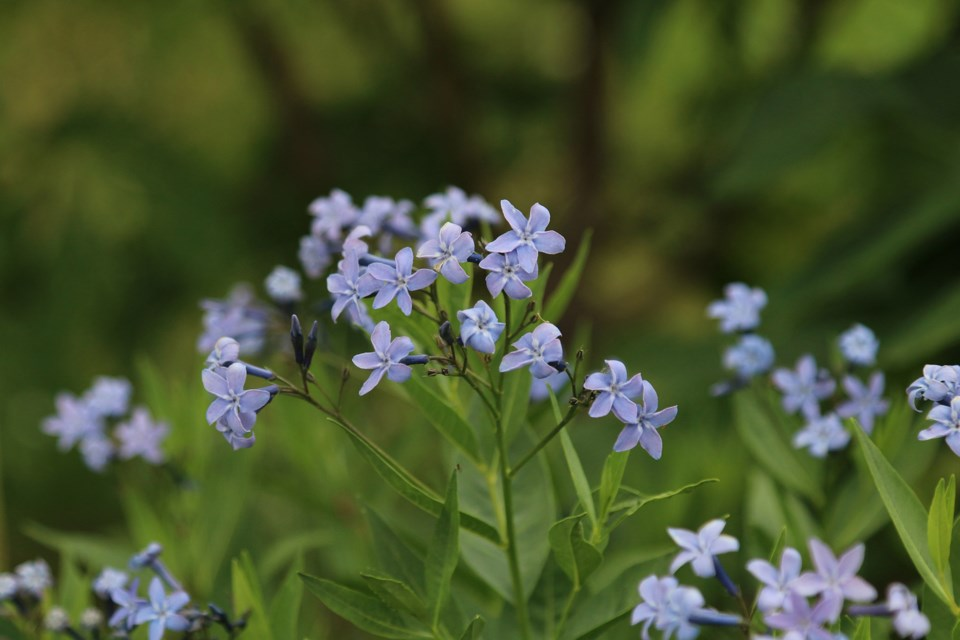 Amsonia is an easy-care perennial, slow to get going but a good clump former, with starry pale blue flowers, ideal for sun or light shade. (JODI DeLONG)