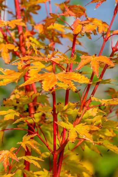coralbark_maple-1033