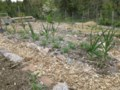 Growing Food With Greg: Mulching — the path to success!