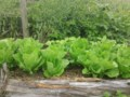 Growing Food With Greg: Making the most of your greens