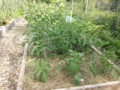 Growing Food With Greg: Growing tomatoes — direct seeding vs. transplants