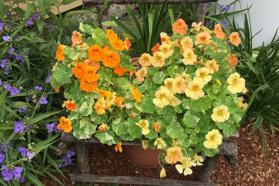 You can put a number of different types of plants in your containers or fill them with all one kind, like  these nasturtium planters. (JODI DELONG)