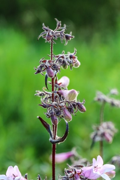 penstemon_dark_tower-6527