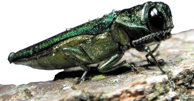 070617-emerald ash borer