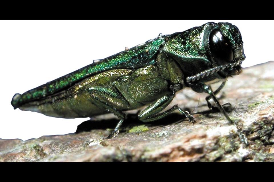 Emerald ash borer. (DAVID CAPPAERT / Michigan State University, Bugwood.org)
