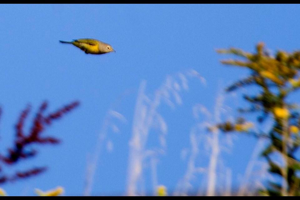 A Nashville warbler flies through shrubbery at Duncans Cove in September. (TIM KROCHAK / LocalXpress)