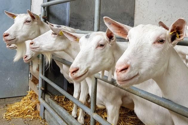 shutterstock goats