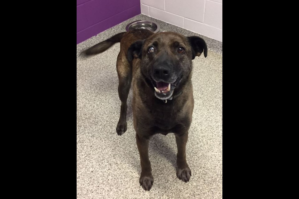 Lugnut was one of 27 dogs flown from Cat Lake First Nation to find a new home through the Support the North campaign. Supplied photo/Ontario SPCA