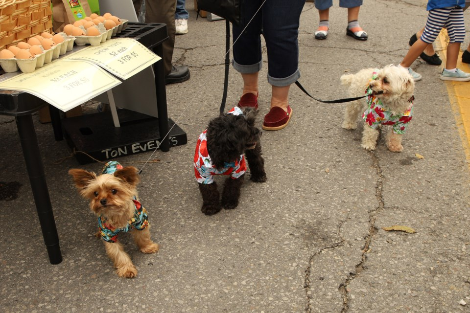 Charlie, Louie, and Bella are decked out in their Hawaiian shirts for the 11th annual Newbarket dog festival, sponsored by Global Pet Foods, at Lions Park last weekend. Greg King for NewmarketToday