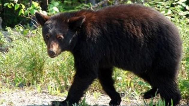black-bear-1-2016