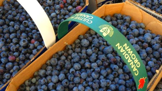 blueberries_cropped