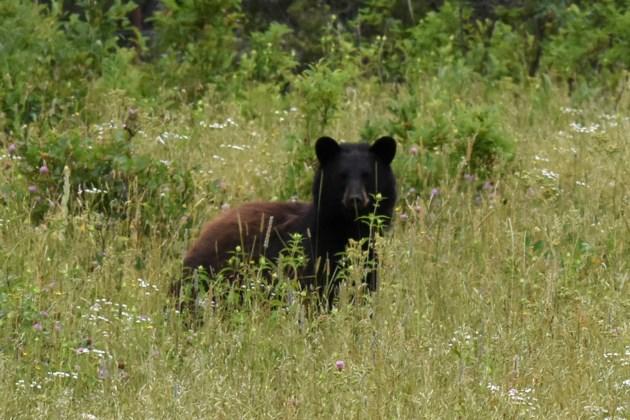 20190712_Sulphur Springs_Black Bear (Hawke) (4)