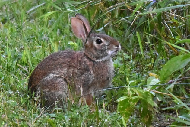 20190808_Valk Valley_Cottontail Rabbit (Hawke) (4)