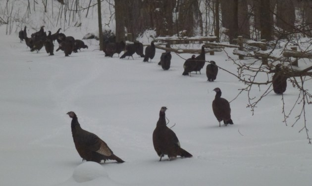 Hawke-Turkeys in yard - Edited