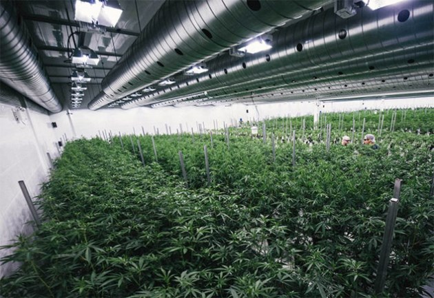 marijuana-greenhouse-696x478