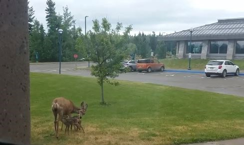 """June the """"rockstar"""" deer and mother, feeds her two unnamed fawns at the UNBC campus this week."""
