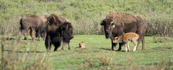The plains bison herd in Banff National Park in 2018 with a newly born calf. PARKS CANADA PHOTO