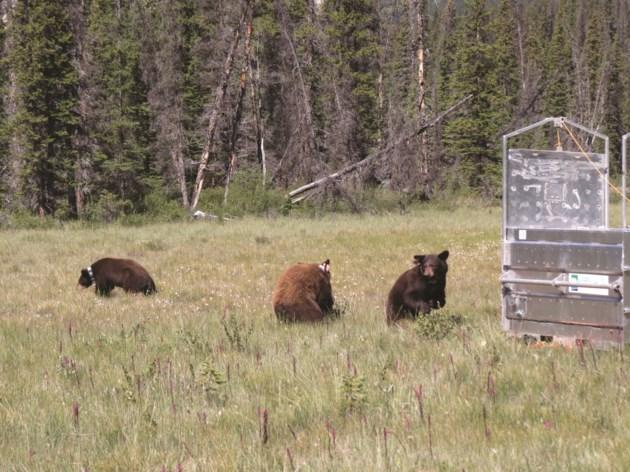 Black bear cubsParks Canada02