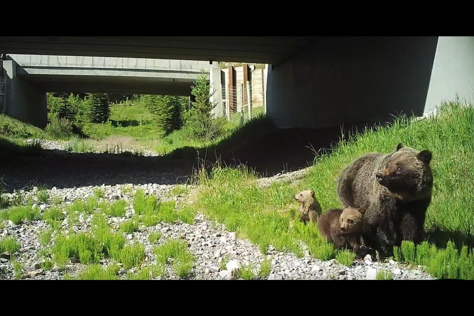 This grizzly bear, with her cubs, is believed to be the one that charged Emma Lunder. ALBERTA ENVIRONMENT AND PARKS PHOTO
