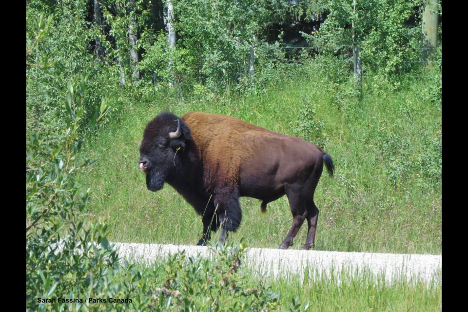 After an extensive search, Parks Canada located the bison north west of Sundre - approximately 60 km from the bison reintroduction zone in Banff National Park's backcountry. Sarah Fassina - Parks Canada Photo