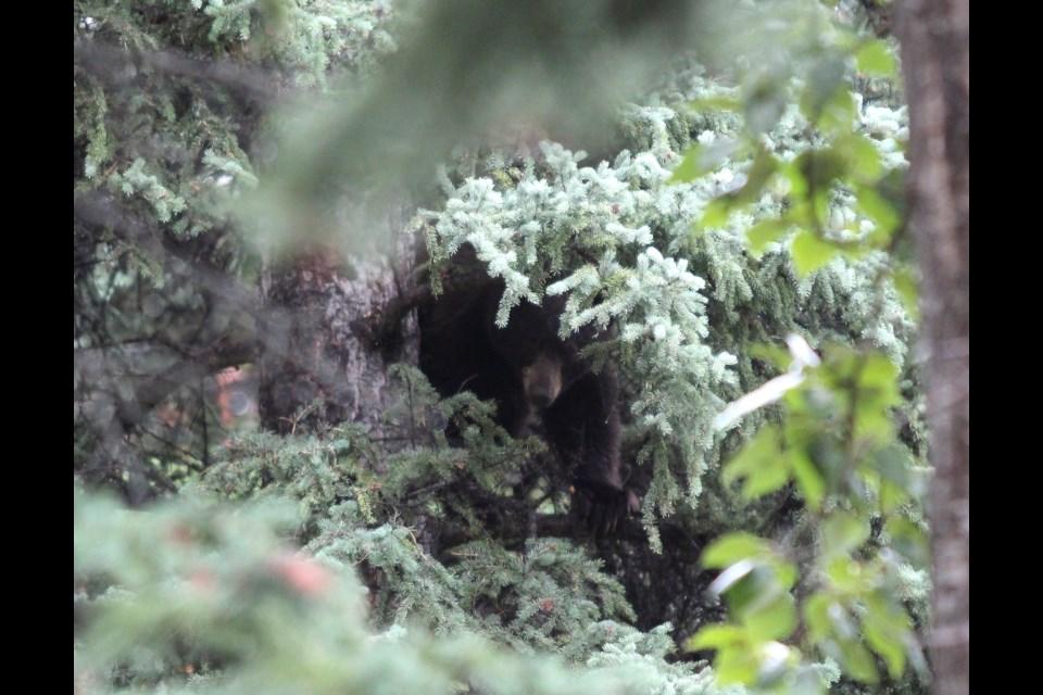 A treed black bear near Kananaskis Way and Bow Valley Trail on Saturday (Aug. 31). Jordan Small RMO Photo