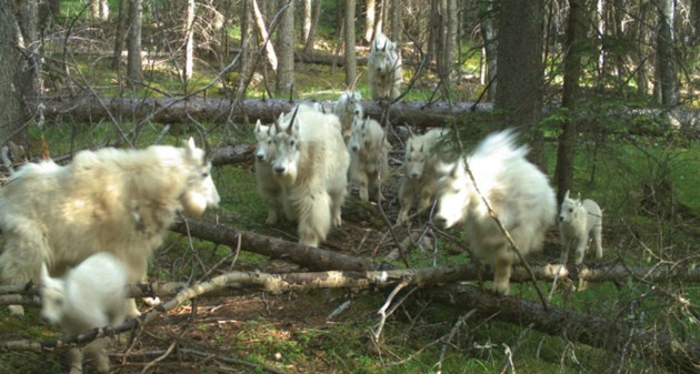 Mountain goats on trail_Copyright Parks Canada_web