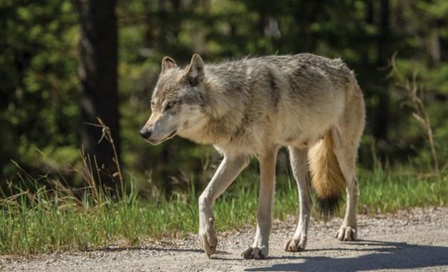 Sunshine Road Wolf