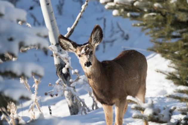 deer AdobeStock_172193357