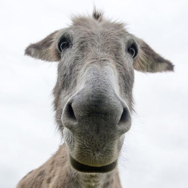 donkey AdobeStock