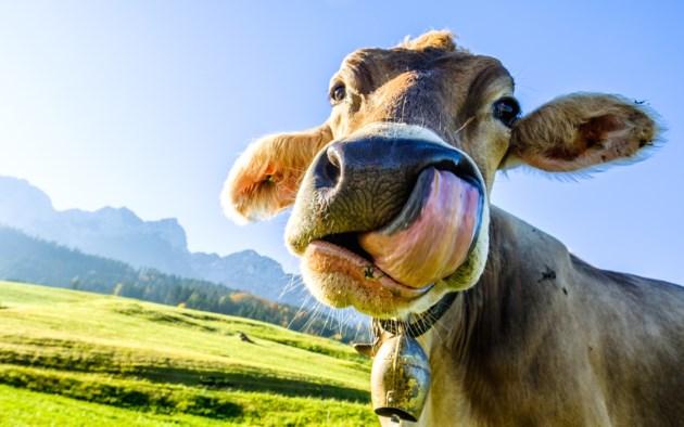 funny cow AdobeStock_177259529