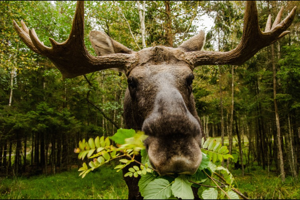 Moose season in the Thunder Bay area opens Oct. 13. (File).