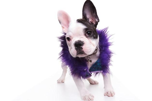 puppy in purple AdobeStock_135267916