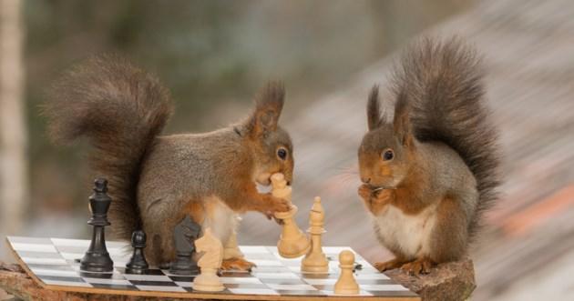 squirrels chess AdobeStock_141315846