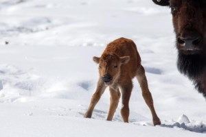 First bison calves born in Banff National Park backcountry in 140 years