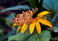 Southern Quebec visited by 'unprecedented' number of painted lady butterflies