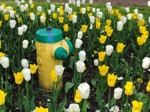 USED 2019-06-02 Tulips hydrant