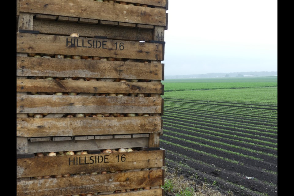 Onions in a crate in the Holland Marsh. Jenni Dunning/BradfordToday