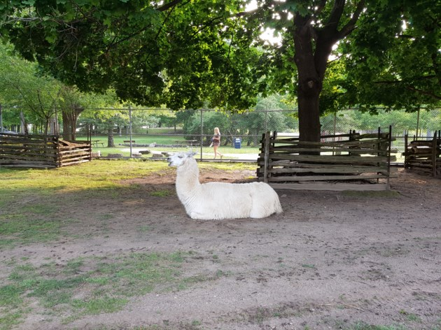 Llama in Waterloo Park