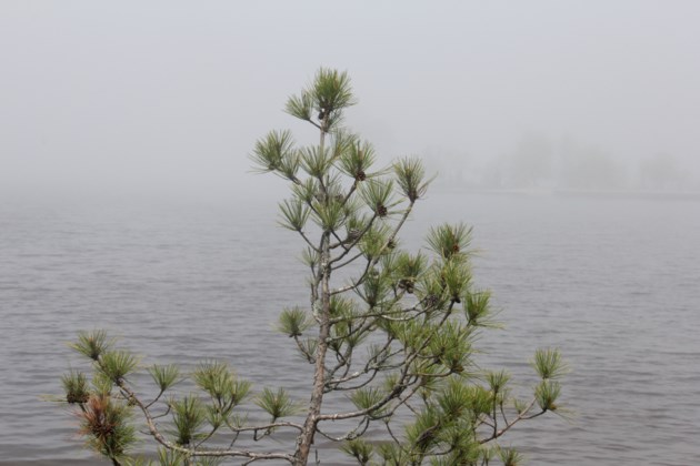 USED 2018-06-07goodmorning  1   A tree in the mist. Photo by Brenda Turl for BayToday.