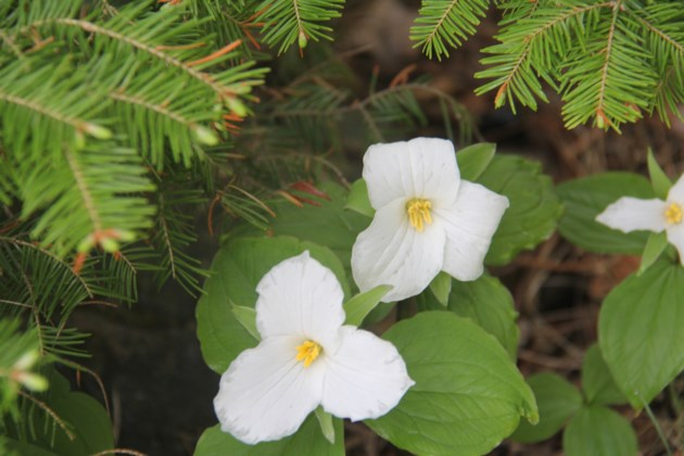 USED 2018-06-21goodmorning  5  Trilliums. Photo by Brenda Turl for BayToday.