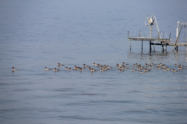 USED 2018-08-23goodmorning   8  Flock of merganssers looking for fish. Photo by Brenda Turl for BayToday.
