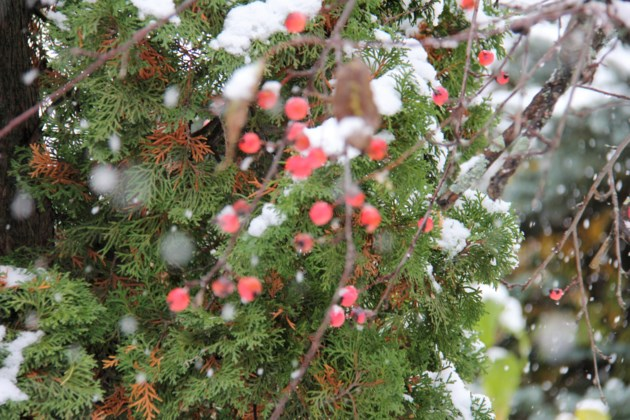 USED 2019-01-31goodmorning  1 Crabapples and cedar. Photo by Brenda Tur for BayToday.