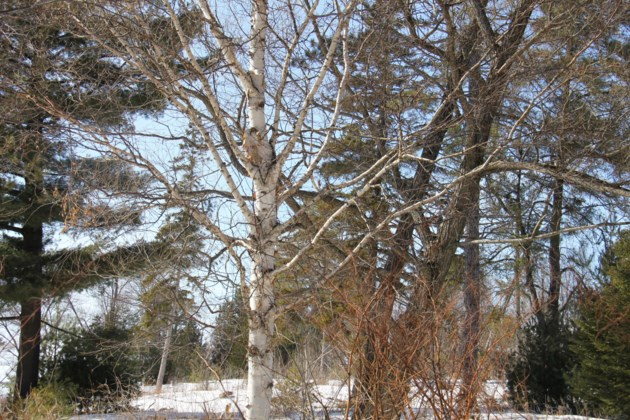 USED 2019-04-11goodmorning  1 A birch among the other trees. Photo by Brenda Turl for BayToday.