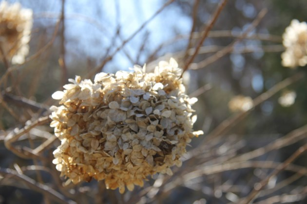 USED 2019-04-11goodmorning  2 Hydrangea seed head. Photo by Brenda Turl for BayToday.