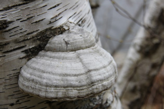 USED 2019-05-16goodmorning  6 Fungus on birch. Photo by Brenda Turl for BayToday.