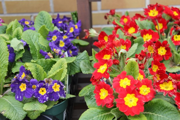 USED 2019-05-9goodmorning  7 Primroses ready for the garden. Photo by Brenda Turl for BayToday.