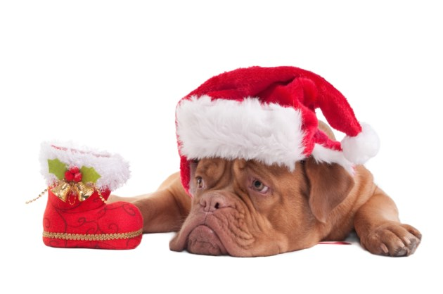sad puppy Christmas AdobeStock