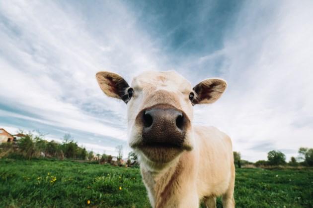 cow stock